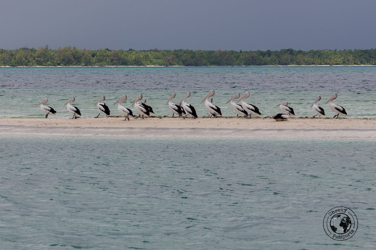 Pelikans enjoying the Ngurtafur Sandbar, whilst we were exploring the kei islands in the malukku
