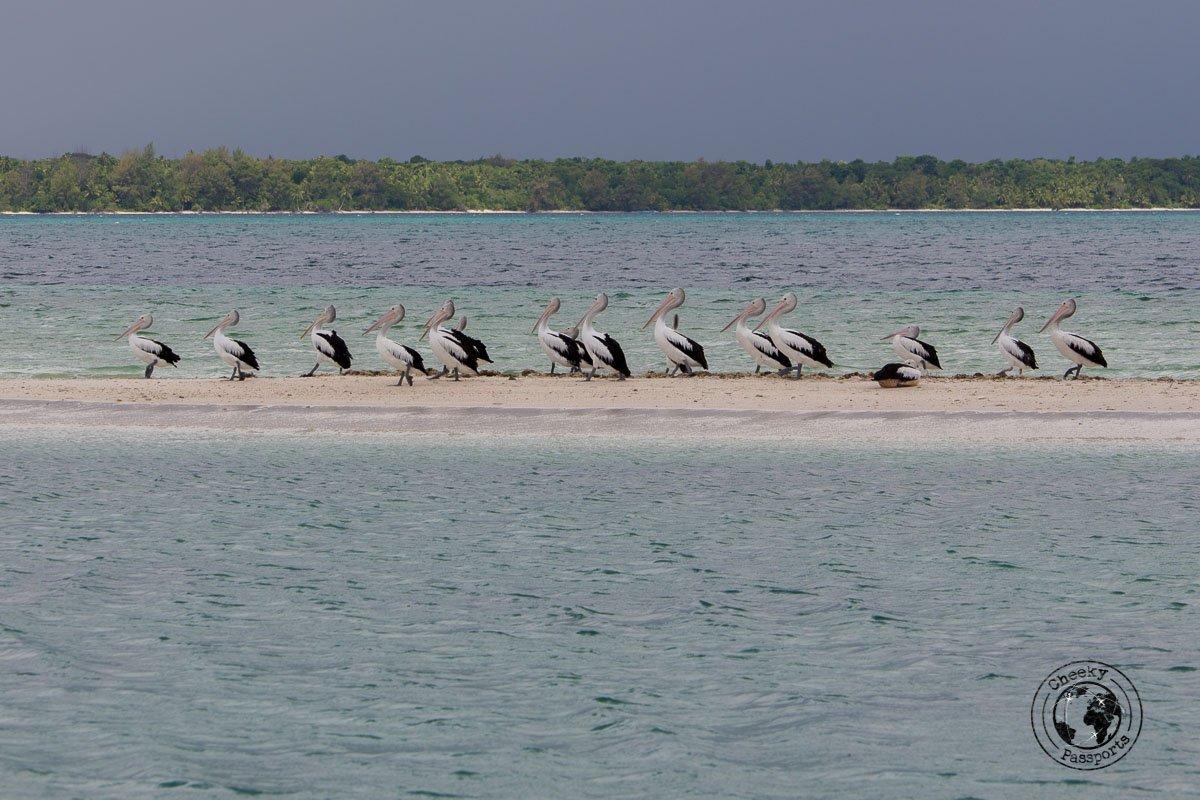 Pelikans enjoying the Ngurtafur Sandbar, whilst we were exploring the kei islands in the malukku
