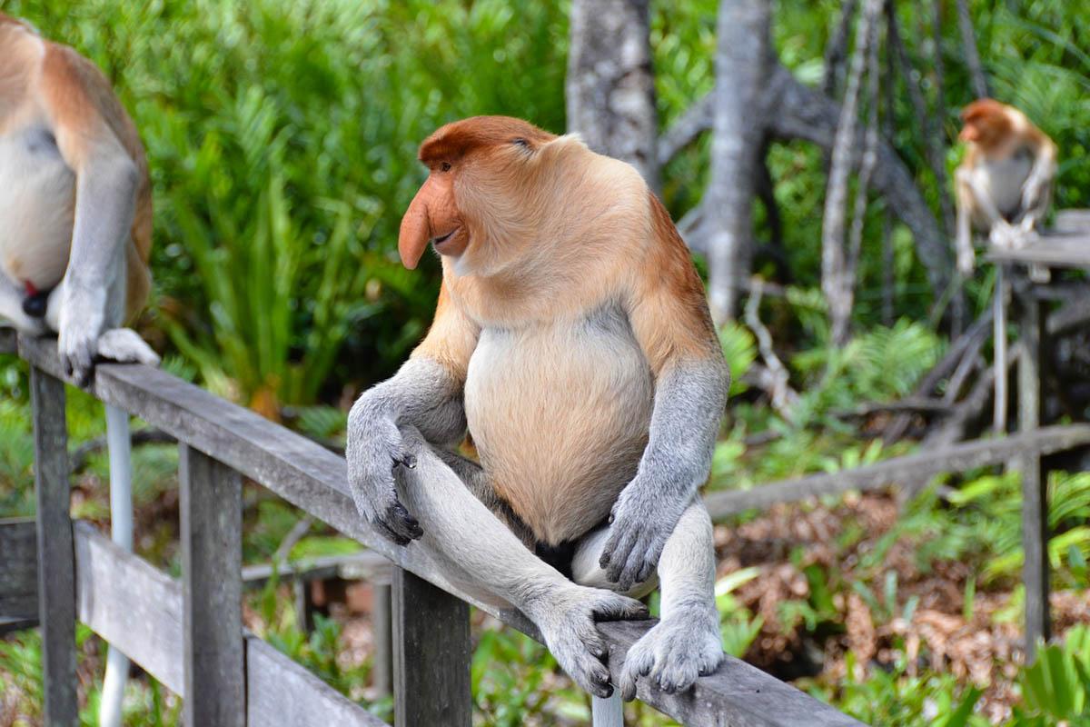 Proboscis monkey at the Ulu Temburong national park brunei - photo credit Pen_ash