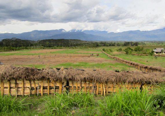 The lush fields around the baliem valley
