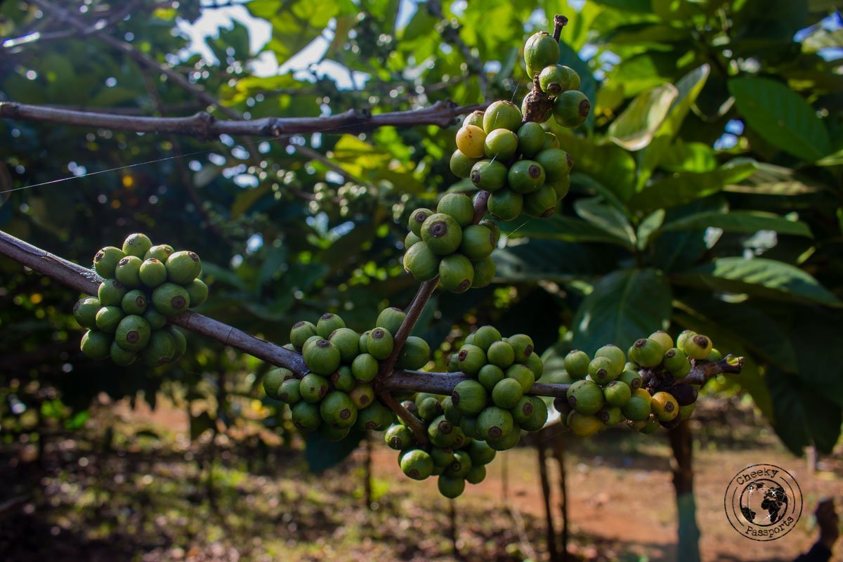 The coffee plantations - Itinerary for Biking the Bolaven Loop