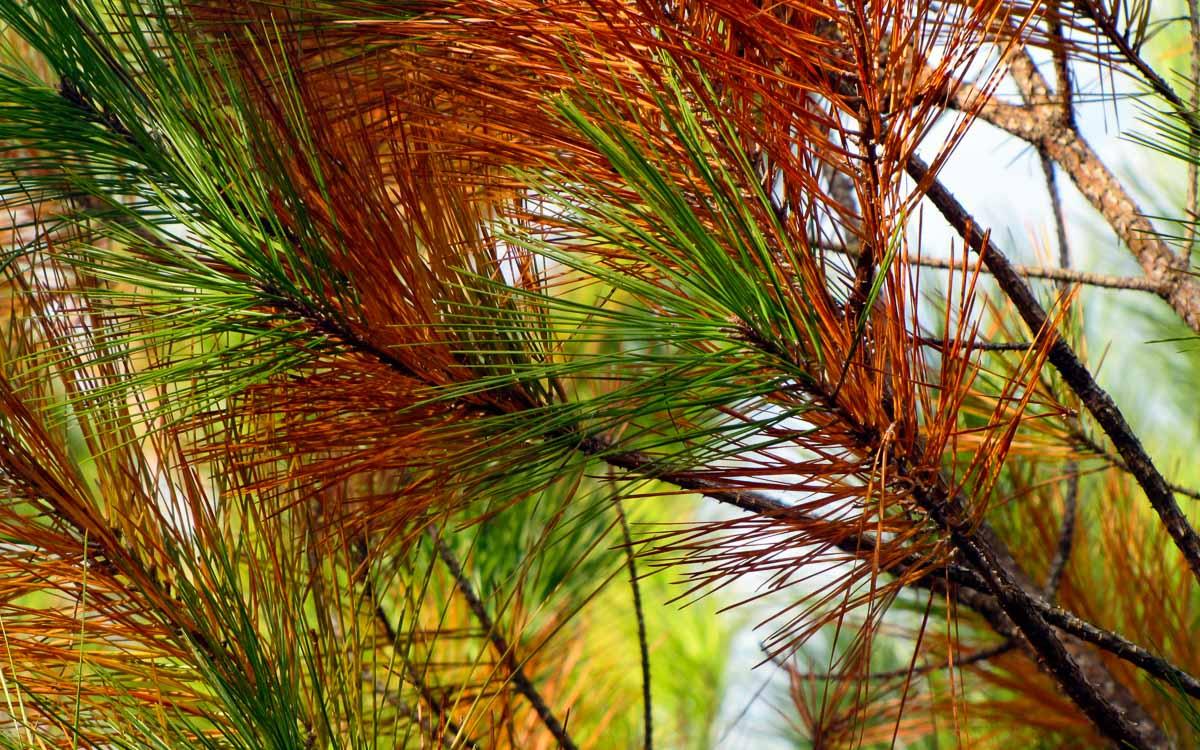pine trees - Things to do in Yogyakarta -photo credit greyerbaby