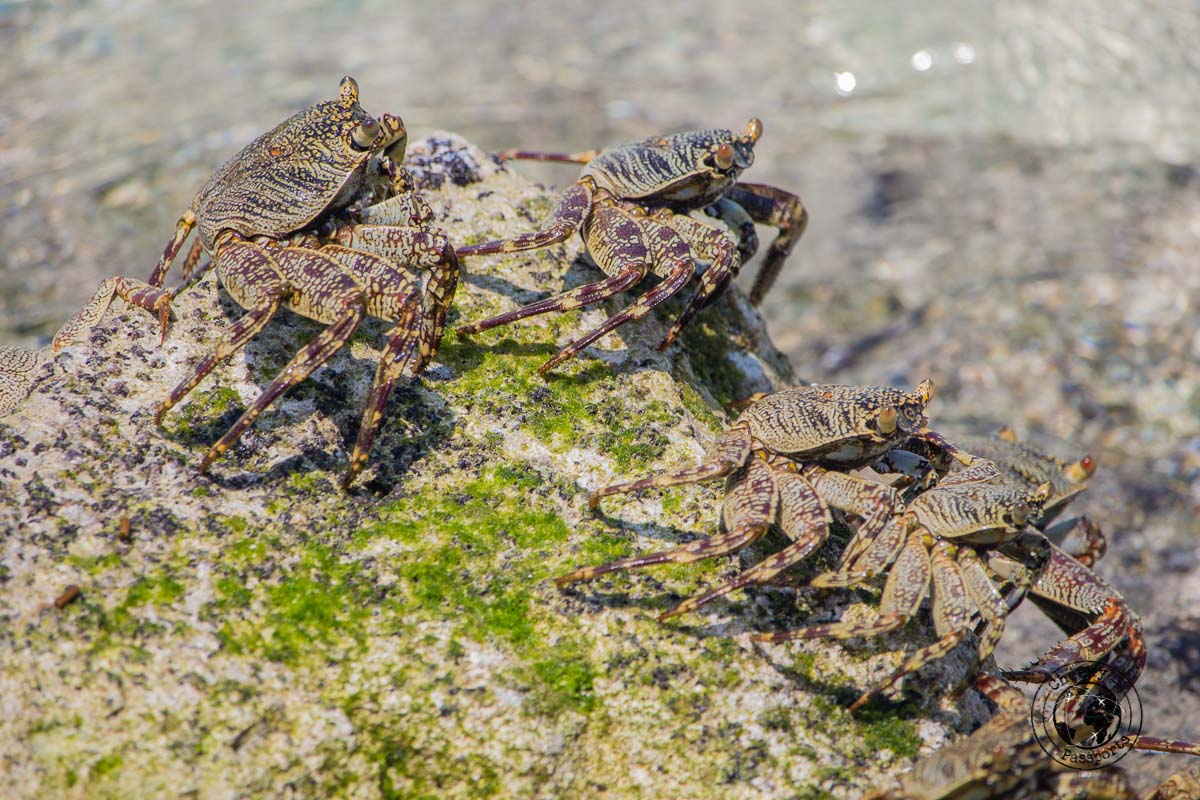 Crab family in the Maldives - travel to maldives on a budget