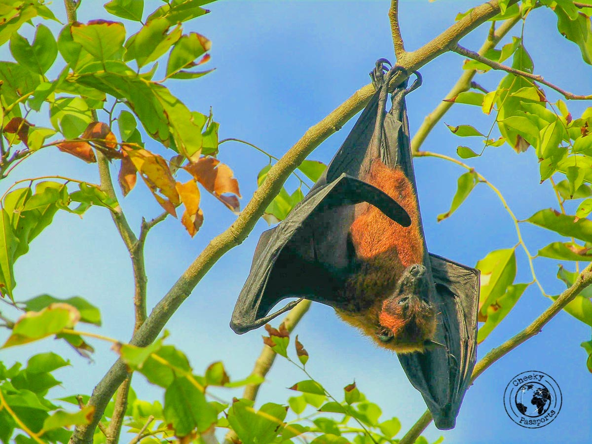 Huge bats reside at the Maldives local islands
