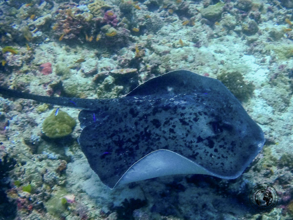 Manta encounter - Backpacking Maldives