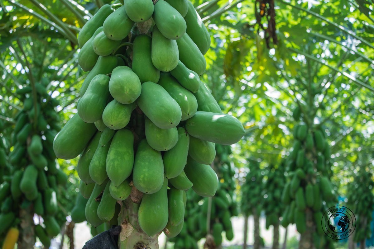 Papaya plantations - Maldives local islands