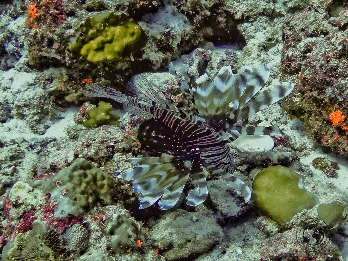 Scorpion fish - Maldives local islands