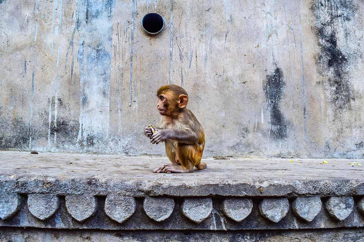 Monkey Temple Jaipur - photo credit Billycm