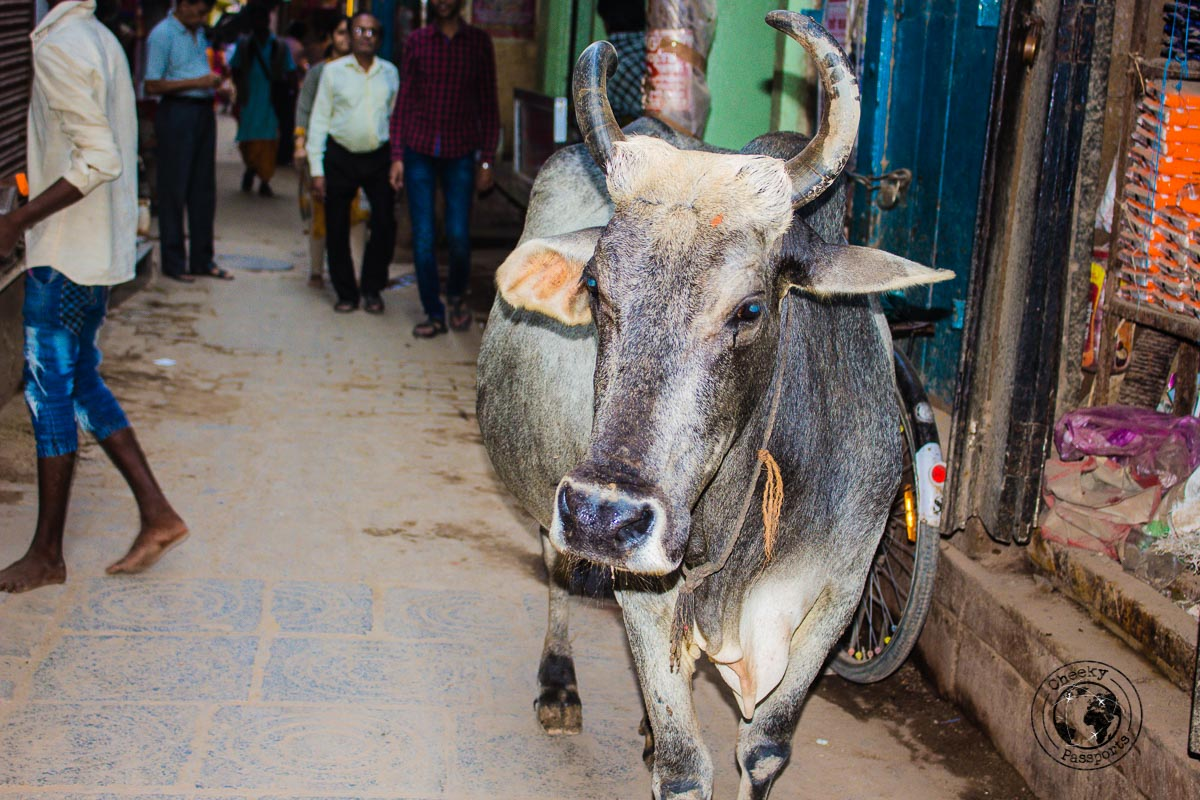 Sharing the tight streets of Varanasi - The Best Places to Visit in Varanasi and Other Things to Do in the Holy City
