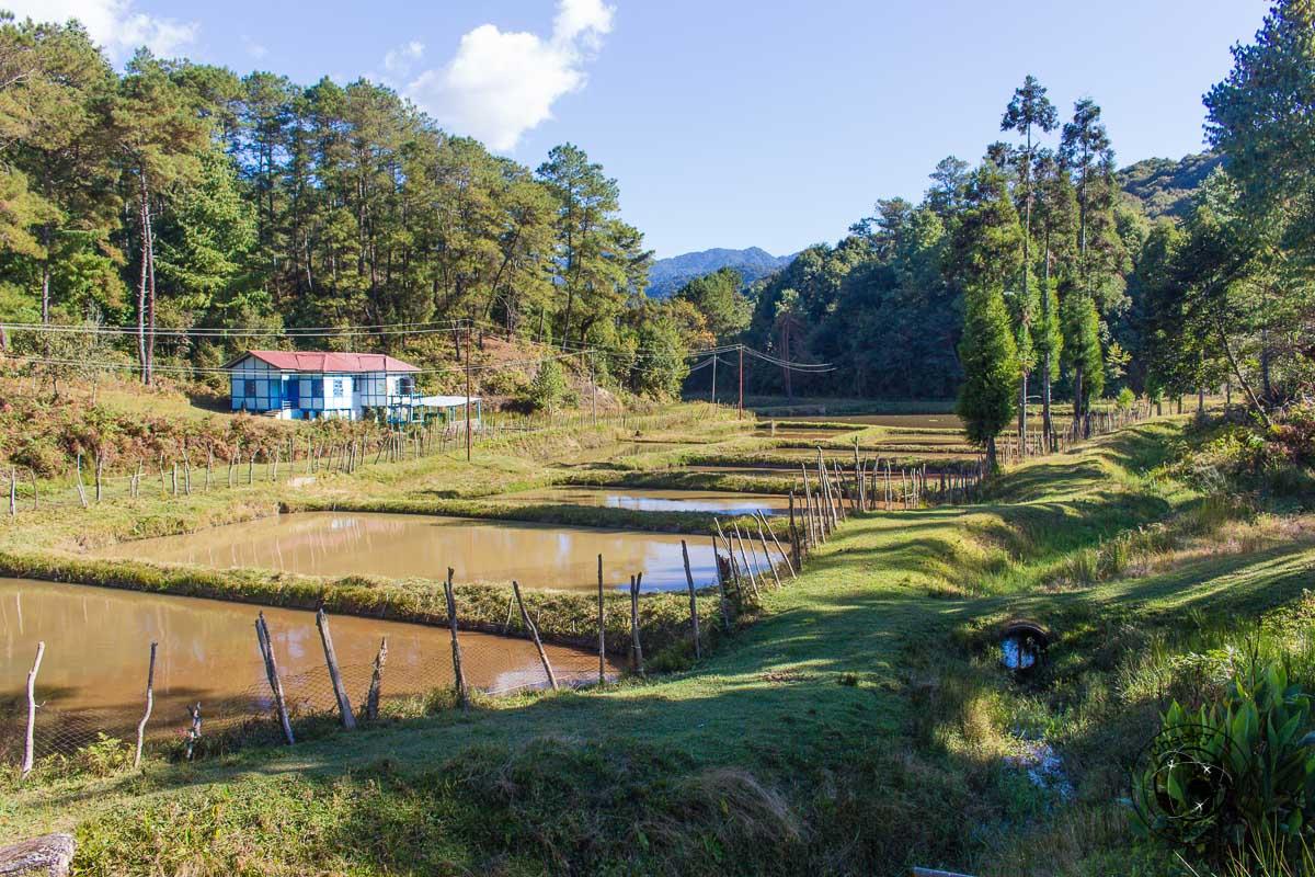 Tarin Ziro ponds in the Ziro Valley