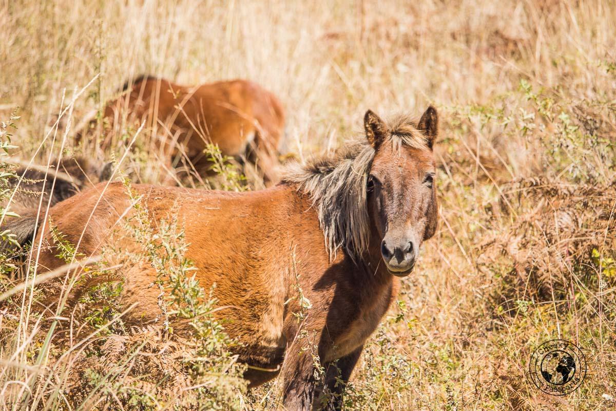 Wild horses encountered whilst trekking in Mechuka, Arunachal Pradesh