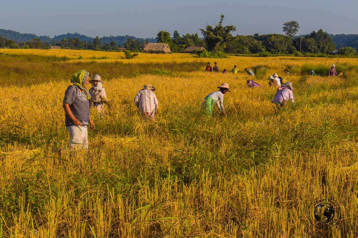 Working in the rice fields of Pasighat - Places to visit in Arunachal Pradesh
