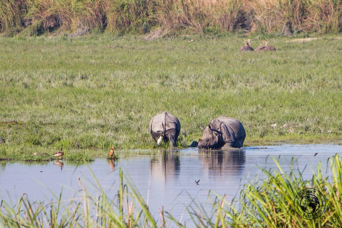 The greater one horned rhino seen at the Kaziranga National Park Safari