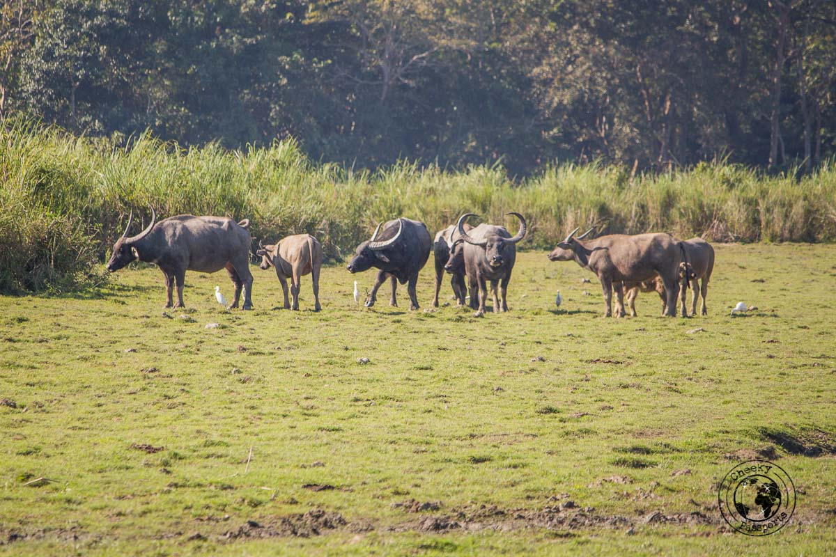Water buffaloes are a common sight at Kaziranga