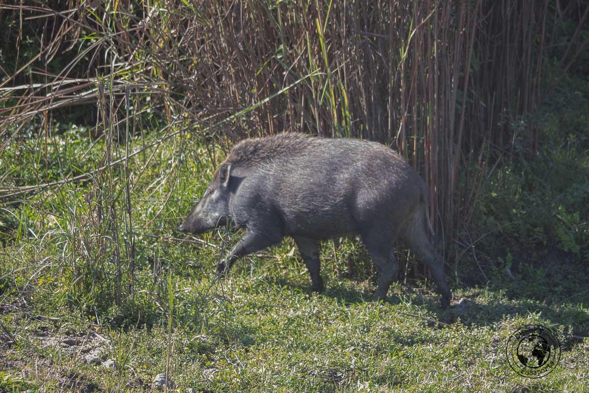Wild boars at the Kaziranga National Park