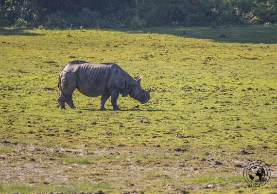 the Greater One-Horned Rhino at the Kaziranga National Park Safari