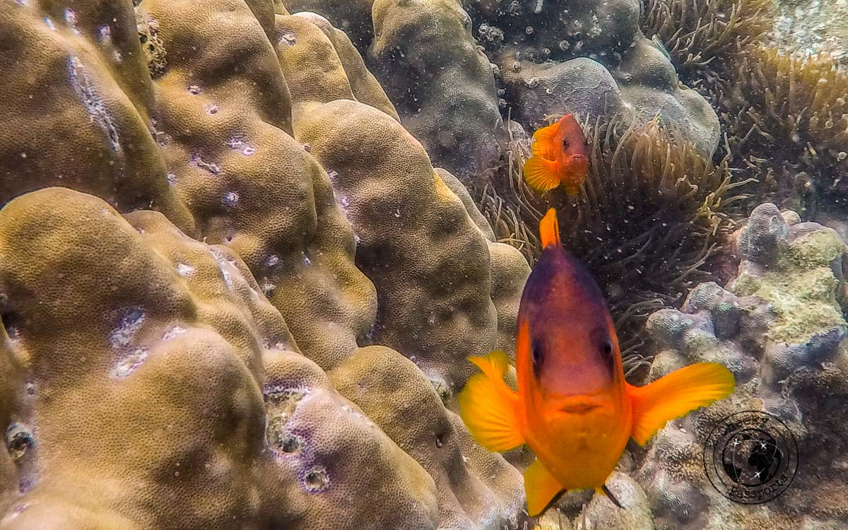 An angry clown fish in the mergui
