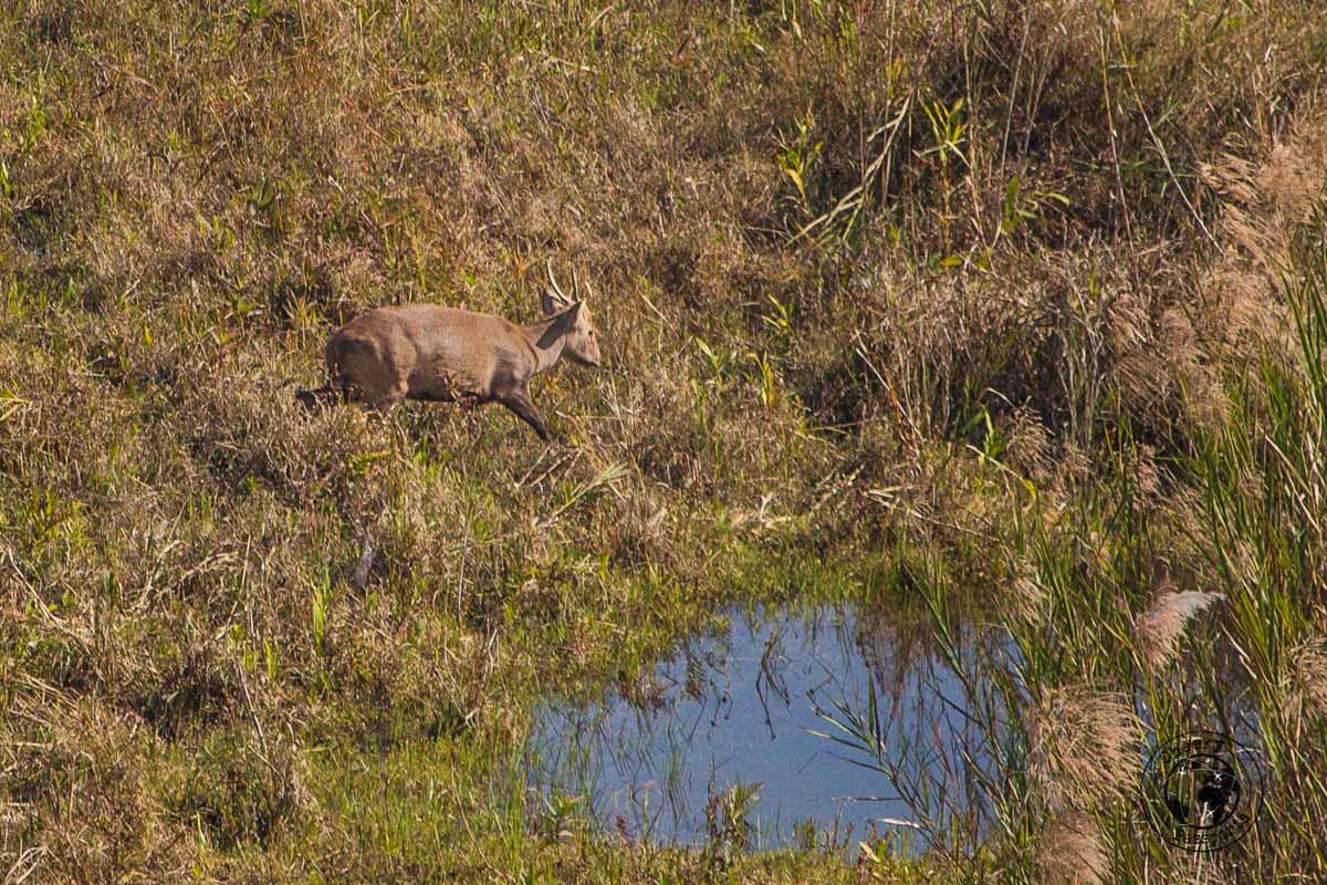 the Sangai deer of Keibul Lamjao National Park - Copy