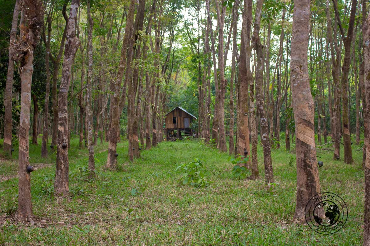 Rubber tree production in Bilu island, one of the top things to do in Mawlamyine